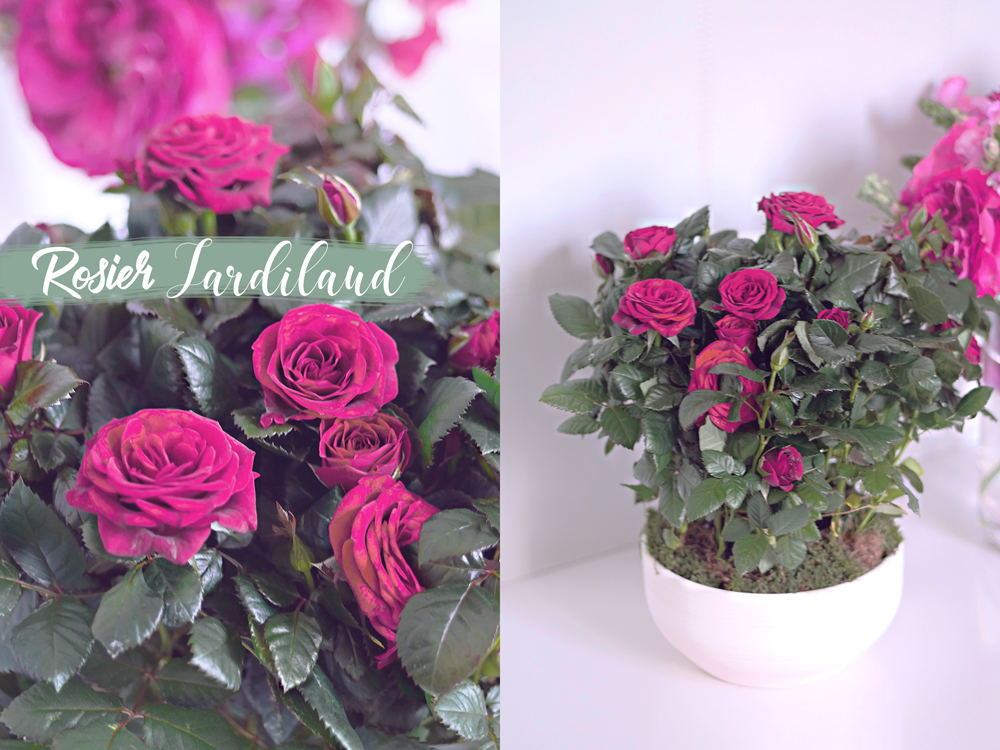 rosier-jardiland-1